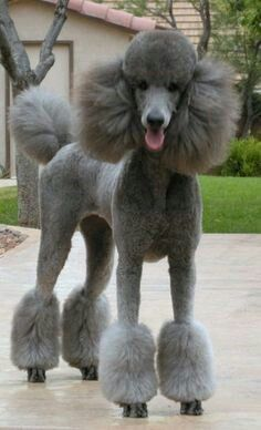 STANDARD POODLE ~  HOW BEAUTIFUL, SWEET, FUN AND HAPPY THEY ARE!!!! <3<3<3<3<3<3<3