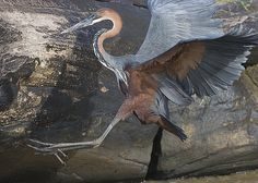 https://flic.kr/p/5V574F | Goliath  Heron takes wing | Here for my fellow bird photographers is the last of my Africa photos for now. It is the largest heron in the world and at my distance hard to fit in the frame with the 500mm But I think you all can how large a fish he could swallow He was waiting patiently in this rocky spillway for fish to come by when we first observed him Then I got this shot as he crossed over to a new position