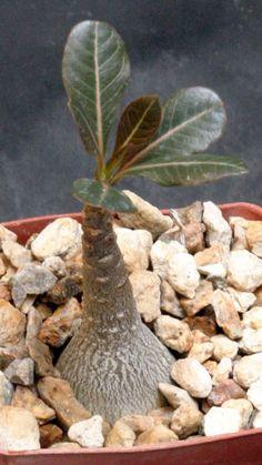 Adenium socotranum 3-inch pots