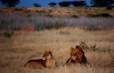 Lions at Dawn, South Luangwa National Park, Zambia