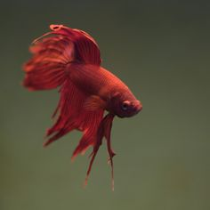 https://flic.kr/p/7B7cR7 | Betta Splendens | Betta Splendens, one of the newest inhabitants of my fish tank.