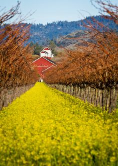 Vineyards  in Napa Valley CA