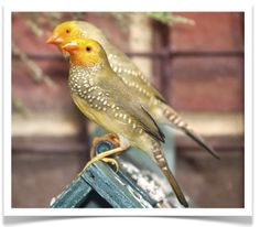 Yellow Face Star Finch for Sale Birds For Sale, Birds Online, Live Animals, Colorful Birds, Exotic Birds, Little Birds, Parakeet, Bird Species, Beautiful Birds