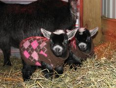 Baby pygmy goats are possibly the cutest baby animal, but they do often require supervision as they enter this world.