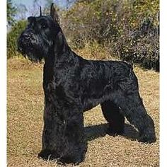 Giant Schnauzer-bred with great Dane originally and great for allergy sufferers