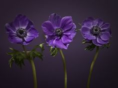 Anemone Flowers- The Anemone symbolizes the Trinity, sorrow and death