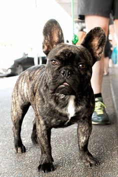 The major breeds of bulldogs are English bulldog, American bulldog, and French bulldog. The bulldog has a broad shoulder which matches with the head. Brindle French Bulldog, French Bulldog Facts, Cute French Bulldog, French Bulldog Puppies, Dogs And Puppies, French Bulldogs, Doggies, Animals And Pets, Cute Animals