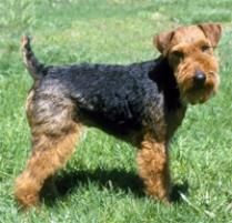 The Welsh Terrier Dog Breed: The Welsh, although more mild-mannered than many terriers, is still playful and mischievous enough to provide plenty of entertainment and ...
