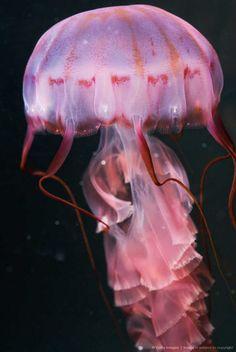 Pink Jellyfish,I'm styling! Underwater Creatures, Underwater Life, Ocean Creatures, Beautiful Sea Creatures, Animals Beautiful, Costume Meduse, Pink Animals, Life Aquatic, Beautiful Fish