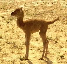 baby camel :D  Well I've never seen a baby camel.