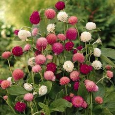 Gomphrena Globe Amaranth Flowers Seeds. Each pack contains 30 seeds. Cut flowers. Highlights: - Brand Name: BELLFARM - Full-bloom Period: Spring - Type: Blooming Plants - Applicable Constellation: Taurus - Flowerpot: Excluded - Cultivating Difficulty Degree: Very Easy - Function: Beautifying - Classification