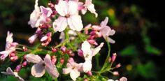 Lunaria rediviva by Todd_Boland