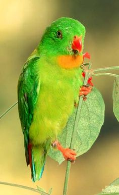 Yellow-throated Hanging-Parrot (Loriculus pusillus)