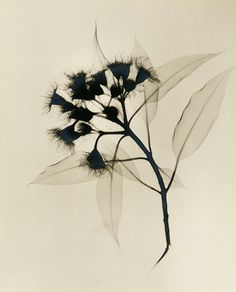 A Radiologist's X-Ray Photographs of Flowers from the 1930s