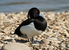 Tufted Duck (by dracobotanicus)