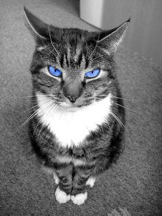 I honestly dont like this picture but i could find any full bodys! Jay from runs aways (Might change name-) Color Splash, Color Pop, Splash Photography, Cat With Blue Eyes, Black And White Pictures, Black White, Warrior Cats, Domestic Cat, Cat Art