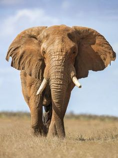 a Fine Bull African Elephant on the Move. by Nigel Pavitt : Elephant Pictures, Elephants Photos, Baby Elephants, Baby Cows, Asian Elephant, Elephant Love, Tribal Elephant, Small Elephant, Mandala Elephant