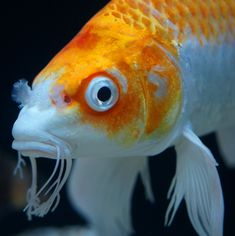 Butterfly koi are also known as the dragons of the pond world!