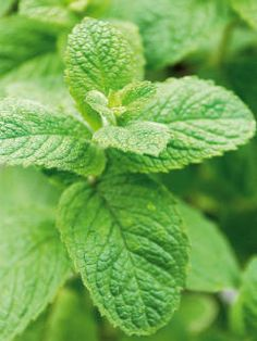 Apple Mint Furry Texture with Mild Sweet Flavor
