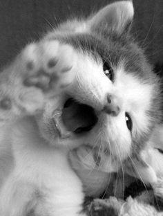 Little kitten opening her mouth...
