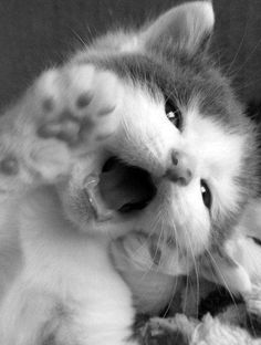Little kitten opening her mouth...