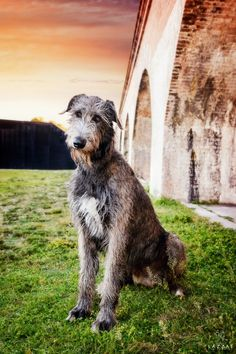 Gray Irish Wolfhound at Fort Pickens at sunset during Epic Dog Photo Session in Florida, Lazzat Photography Irish Dog Breeds, Large Dog Breeds, Irish Wolfhound Puppies, Irish Wolfhounds, Huge Dogs, Grey Dog, Gray, Kinds Of Dogs, Dog Photography