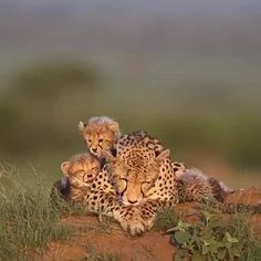 Mega Cheet-a-licious Collection To Boost Morale Cheetah Pics) - World's largest collection of cat memes and other animals Cheetah Family, Cheetah Cubs, Cheetah Animal, Cute Funny Animals, Cute Baby Animals, Cute Cats, Nature Animals, Animals And Pets, Beautiful Cats