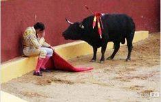 マタドールを気遣う牛  /  The cow which is anxious about a matador.