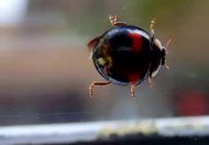 Aziatisch lieveheersbeestje [Harmonia axyridis (Pallas)] Ladybug