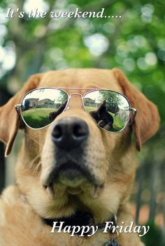 It's the weekend... Happy Friday #TGIF Cool cute golden retriever dog in sunglasses Have a great day and good weekend