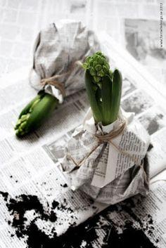 DIY: Hyacinth in the black and white jacket- DIY: Hyazinthe in der schwarz-weißen Jacke Photo by Johanna Eklöf / Formelle Design Spring, Flowers, Bulbs - Black And White Jacket, Black White, Fleurs Diy, Spring Photos, Spring Bulbs, Deco Floral, Bulb Flowers, Hyacinth Flowers, Plant Design