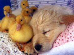 snuggling baby ducks and puppy
