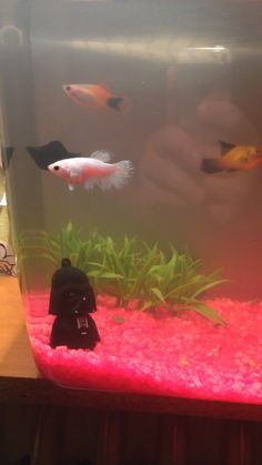 fish tank with some female and male beta fish and mollys