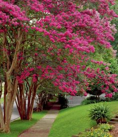 Crepe Myrtles - They are referred to as the flower of a hundred days because they bloom for 3 months.