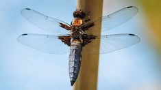 Libellula depressa Site Photo, Beautiful, Dragonflies, Insects