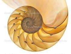 skorupy nautilus - Obraz stockowy: 6812231
