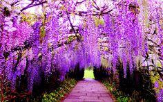 Bugün, Japonya'daki Ashikaga Çiçek Parkı ile günaydın..   1870'te dikilen ve yaklaşık 2000 metre kareye yayılmış dalları ile Japonya'nın en büyük ve en yaşlı #morsalkım ağacı.. #Fuji ismiyle bilinen ağaç, hızlı uzama özelliğine sahip olduğundan ağırlaşan dalları genellikle metal iskelet ve ahşap sütunlar yardımıyla ayakta. Bu sayede ziyaretçilere salkımlardan oluşan doğal bir çardak görüntüsü sunuyor.