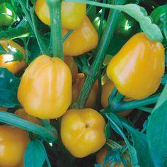 Plant-Miniature Yellow Pepper