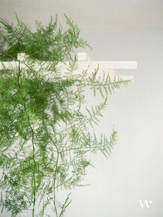 feathery asparagus fern to add soft touches of foliage Fern Wedding, Botanical Wedding, Floral Wedding, Diy Wedding, Wedding Flowers, Asparagus Fern, White Anemone, Flower Names, Pretty Green