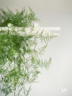 feathery asparagus fern