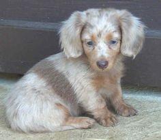 silver dapple wirehaired dachshund - sooo cute
