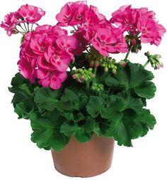1000 images about geraniums on pinterest red geraniums pots and quilt. Black Bedroom Furniture Sets. Home Design Ideas