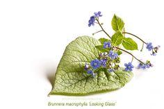 Brunnera macrophylla 'looking glass' spring flower high key
