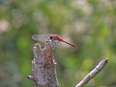 #Conservation #Nature #Outdoors #Wildlife #Dragonfly #Hamilton #HCA