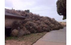 Tumbleweed pileup in New Mexico. I miss seeing tumbleweeds! And occasionally having to stop and drag them out of the way of the car. Midland Texas, Lubbock Texas, Odessa Texas, Melbourne, Texas Weather, Only In Texas, Texas History, Strong Wind, West Texas