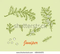 Medicinal plants Set. Hand Drawn Juniper branch, Leaves and Berries. Alternative medicine. Biological additives are. Traditional herbal therapy. Vector illustration