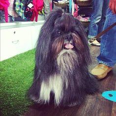 #Ropa #Perros #Mascotas #Bogotá #ShihTzu  * facebook.wawaw.co