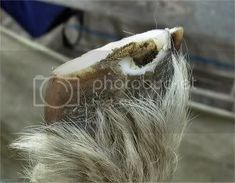 Trimming Goats Hooves.....Photo Story. - lifestyleblock discussion forums - LSB Trimming Goat Hooves, Photo Story, Goats, Goat