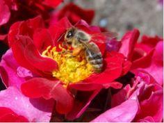 Bienenweide Dunkelrot®