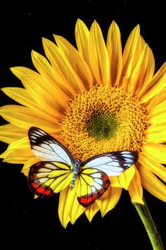 Yellow Photograph - Stunning Butterfly On Sunflower by Garry Gay Sunflower Pictures, Butterfly Pictures, Sunflower Art, Sunflower Tattoos, Butterfly Flowers, Blue Butterfly, Beautiful Butterflies, Beautiful Birds, Sunflower Wallpaper